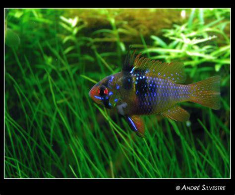 german blue ram 10 gallon aquatic aquascaping aquarium