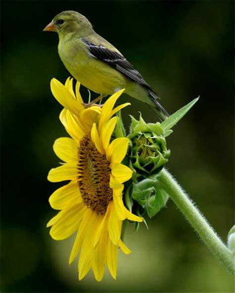goldfinch on sunflower animals pinterest