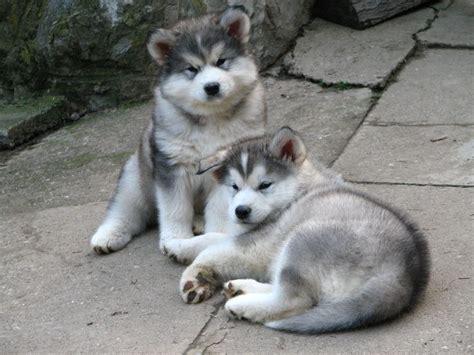 alaskan malamute puppies rescue adorable alaskan malamute puppies for more puppies check out our