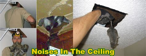 how to get rid of squirrels in the ceiling 84 squirrel
