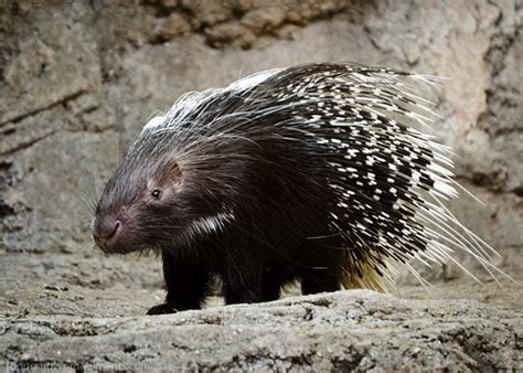 How Large Is 500 Square Feet by African Crested Porcupine Species Hystnx H