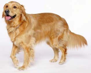 golden retriever supplies dogs 187 golden retriever blogs on dogs