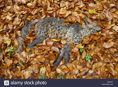 Dead Of Autumn toter fuchs vulpes sp im herbstlaub dead fox lying on