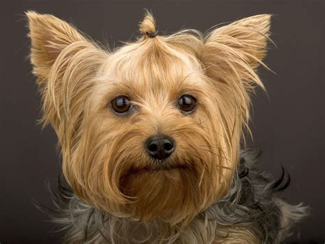 no haircut dogs ra 231 a de c 227 es yorkshire terrier descri 231 227 o sobre a ra 231 a de