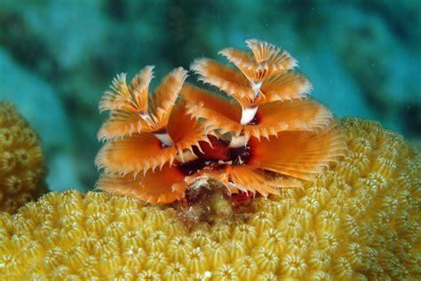 christmas tree worm underwater photos by arthur de bock