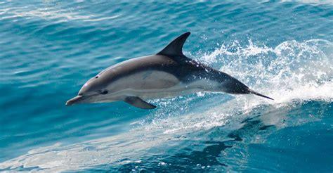 animales del mar gran delf n caracter 237 sticas de los delfines