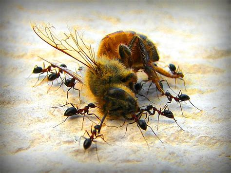 dead bees in house file delicious dead bee and hungry ants jpg wikimedia commons