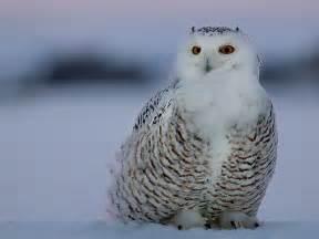 snowy owl hq