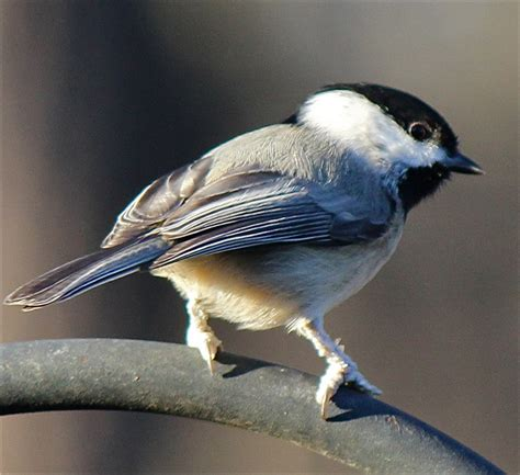 gorgeous carolina chickadee birds photo 18664024 fanpop