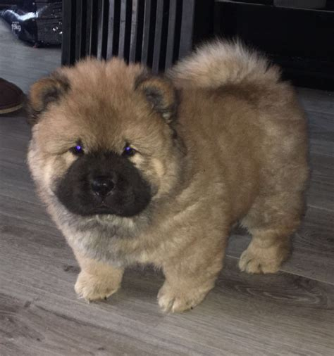 puppies for sale in philadelphia pa chow chow puppies for sale southwest philadelphia pa 195250