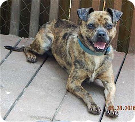 australian shepherd pug mix coop 21 lb unique great pet adopted ps 24569665 burlington vt pug