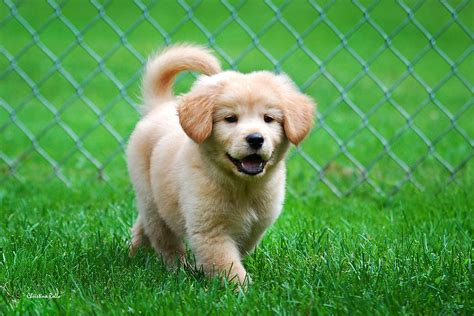 golden retriever puppy commercial golden retriever puppy photograph by rollo