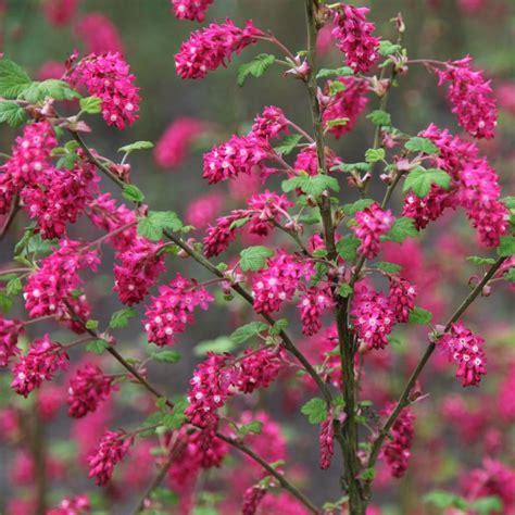 buy flowering currant ribes sanguineum pulborough scarlet