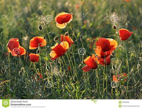 foto di prati fioriti prati fioriti papaveri fotografia stock immagine 55562690
