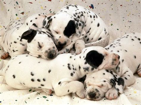 how many puppies are in an average litter litter size of dalmatian dogs many