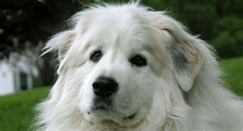 great pyrenees puppies for adoption great pyrenees adoption adopt a great pyrenees or puppy
