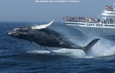 when is whale season in cape cod new country inns fly drive just america