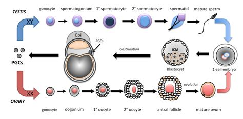 define zygotic induction define zygotic induction 28 images lecture images ch 22 breaking symmetry paternal