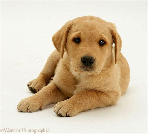 miniature puppies for sale near me 2017 charming labrador puppies missouri for sale pictures images wallpapers