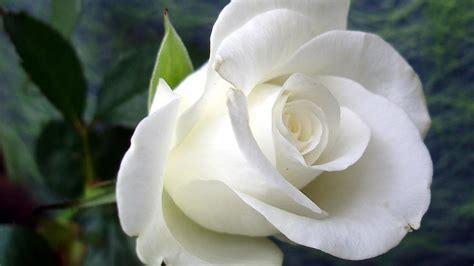 8 Biji Bibit Benih Bunga Carnation White Pink mawar foto gratis ulasan produk detil bibit mawar ungu