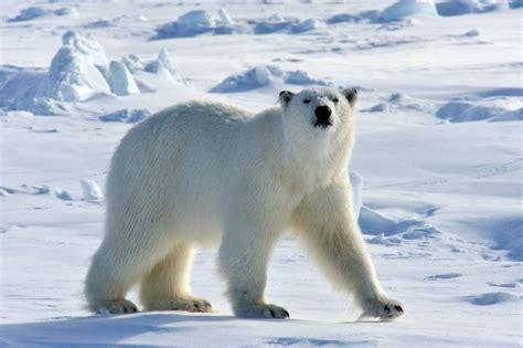 imagenes animales polares 191 d 243 nde vive el oso polar