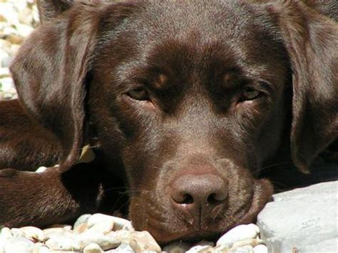chocolate lab puppy animal encyclopedia chocolate lab puppies