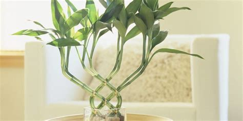 bamboo plant in bathroom 8 best bathroom plants to have plant instructions