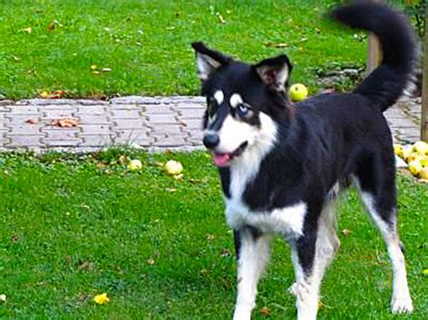 border collie husky mix puppy the border collie husky mix is this smart active right for your family