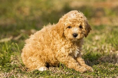 cavoodle puppies cavoodle puppies 2017 2018 best cars reviews