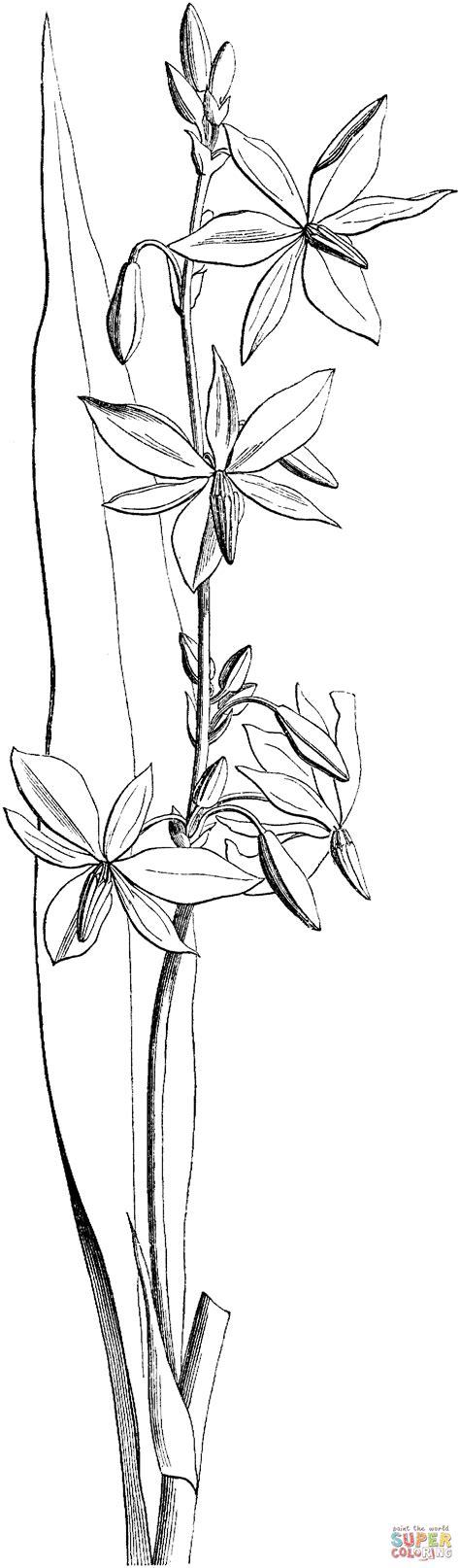 australian victorian orchid coloring online super coloring