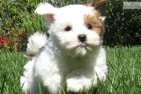 mal shi puppies teddy puppies breeder ohio breeds picture