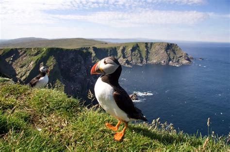 puffins in sheltand natural scotland pinterest