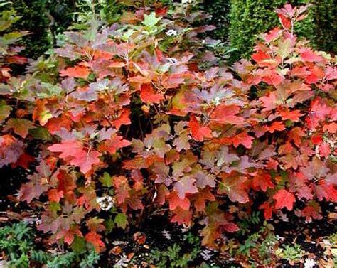 Oakleaf Hydrangea | Blog » Rutgers Landscape & Nursery Oak Leaf Hydrangeas In Winter