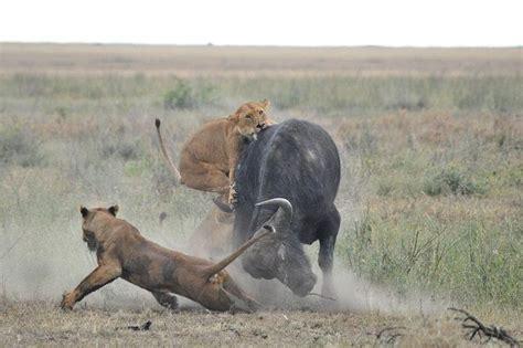 imagenes de leones cazando image gallery leones cazando bufalos