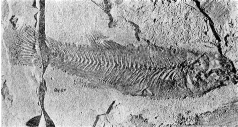 fossil 9051 black white kgs bull 41 pt 7 cyprinidontid fish from the middle