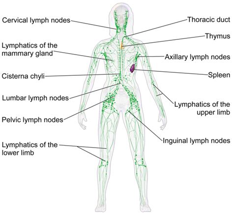 cervical lymph nodes diagram lymph cells and tissues boundless anatomy and physiology
