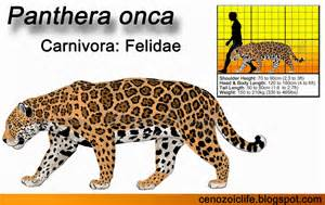 Where Can You Find Jaguars In The Cenozoic Era Jaguar Panthera Onca