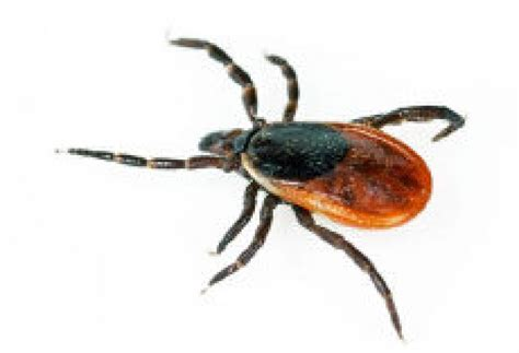 do ticks carry lyme disease ticks that can carry lyme disease spreading the