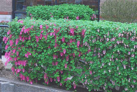 Garden Hedge Ideas Garden Hedges Ideas With Flower Plants To Make Your House More Fabulous 3254 Hostelgarden Net