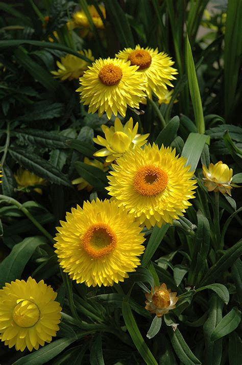 Flower Jumbo dreamtime jumbo yellow strawflower bracteantha bracteata dreamtime jumbo yellow in