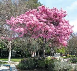 Names of flowering trees pink trumpet tree