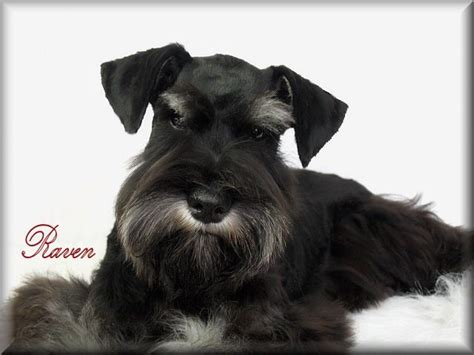 miniature schnauzer puppies for sale in ky snowbound schnauzers miniature schnauzer breeder berea kentucky