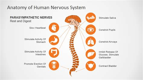powerpoint templates free nervous system powerpoint templates free nervous system image collections