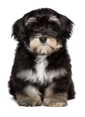 how to raise a havanese puppy havanese dogs jomarans kennels