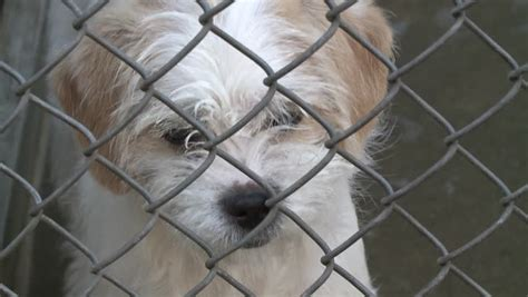 sad puppy commercial sad puppy in shelter fence depressed stock clip 1080