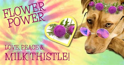 is milk for dogs milk thistle for your dogs naturally magazine