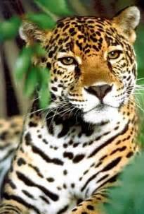 Pictures Of The Jaguar Jaguar Habitat Conservation