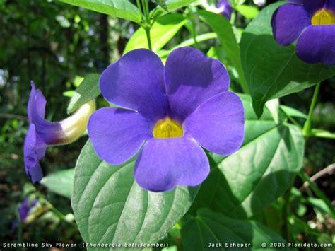 Tanaman Thunbergia Biru Blue Clock Vine scrambling sky flower thunbergia battiscombei a blue