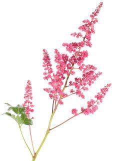 Fresh Cut Flower Preservative by Light Amp Airy Astilbe Grower Direct Fresh Cut Flowers