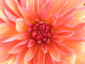 What Is A Dahlia Flower - file red dahlia jpg